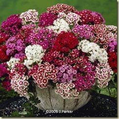 Dianthus.barbatus.sweet.william