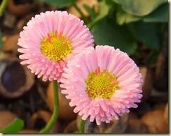 bellis-perennis-pink-