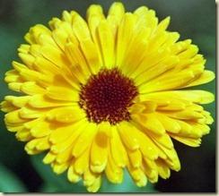 calendula_yellow-20100225-221548