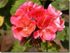 regal-martha-washington-lady-washington-geranium-pelargonium-1